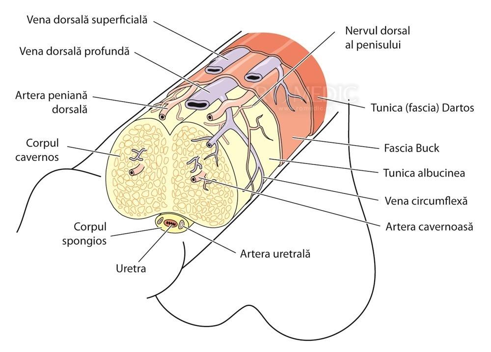 mărirea penisului și