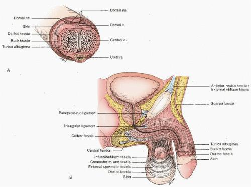 structura scrotului penisului