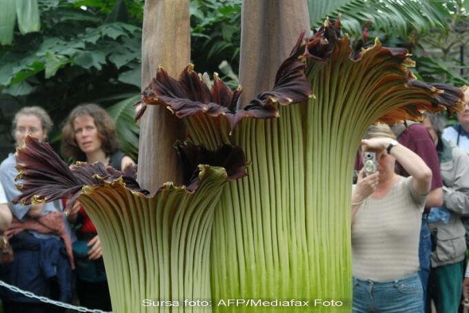 planta pentru penisul plantelor