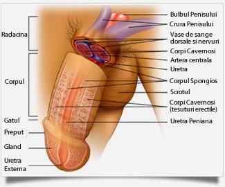 care este dimensiunea penisului în timpul unei erecții