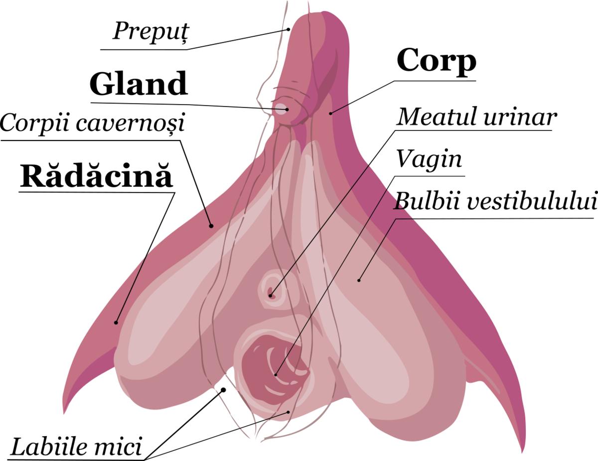 erecția genitală vertebra responsabilă de erecție