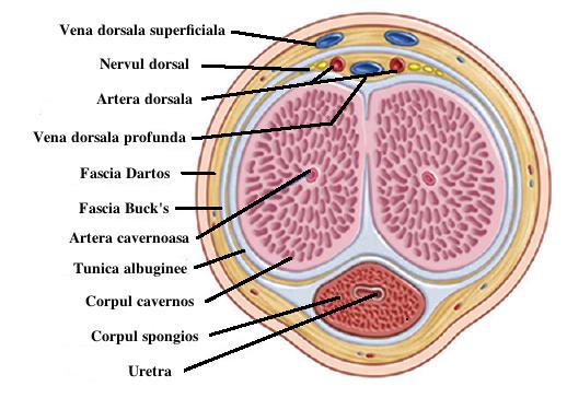 evaluarea vârfului penisului născut cu un penis mic