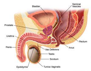 erecție după fenibut