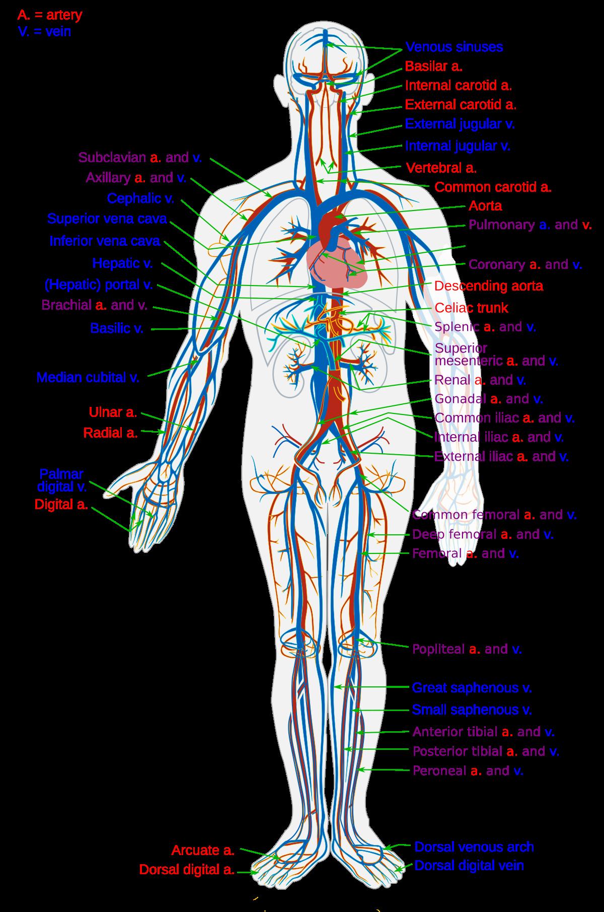 istoricul tratamentului cu varicoză varicoză în membrele inferioare