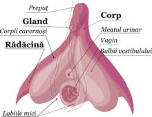 contracția mușchilor penisului