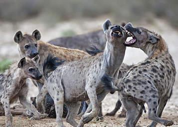 hiena femelă are un penis unde se tratează o erecție