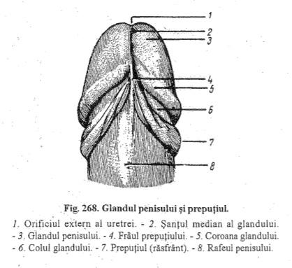 forma penisului