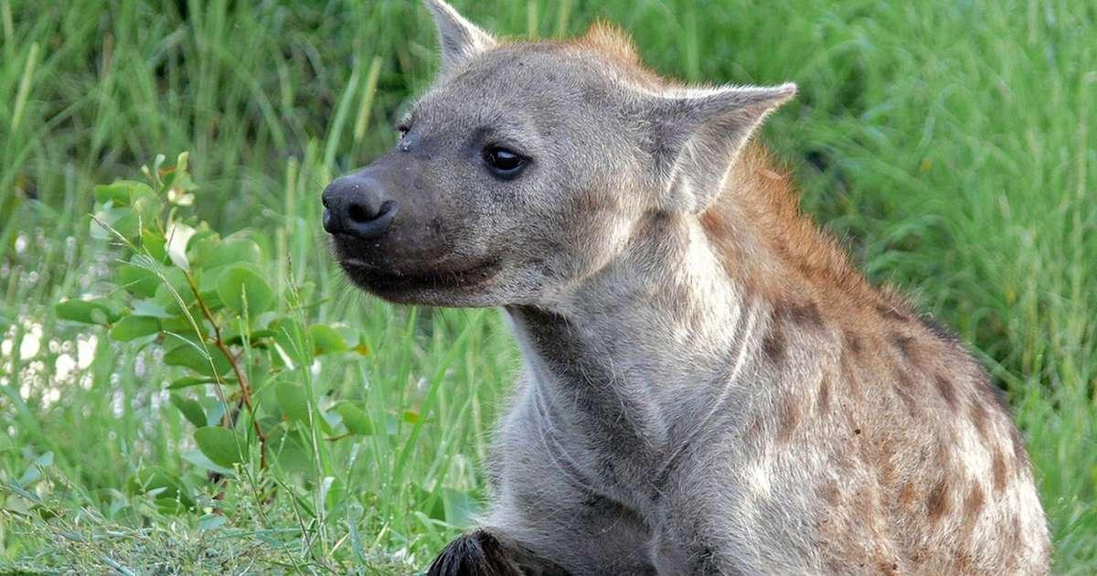 hiena femelă are un penis medicamente inofensive pentru erecție
