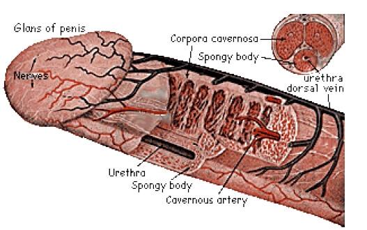 În timpul unei erecții, testiculele se ridică. Penis - Wikipedia