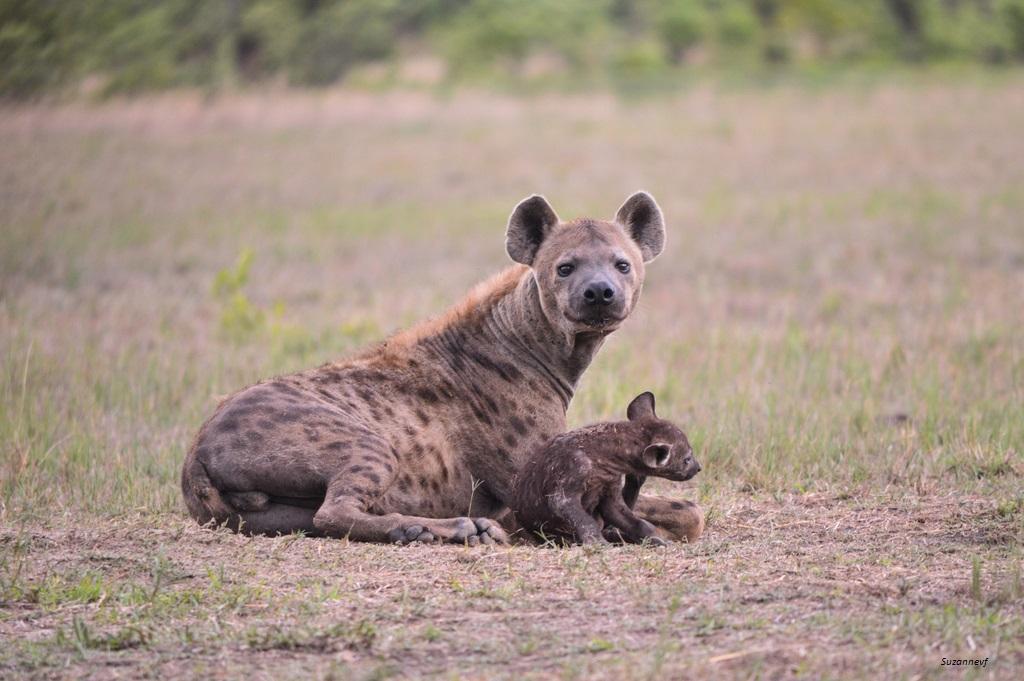 5 detalii interesante din lumea bizară a hienelor - hotelkoronna.ro