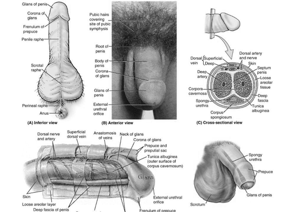 cum să vă măriți răspunsul penisului