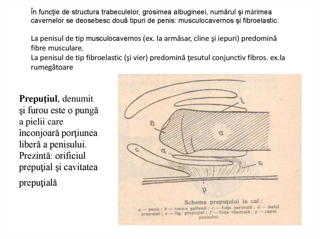 schema structurii penisului cum se ondulează un penis