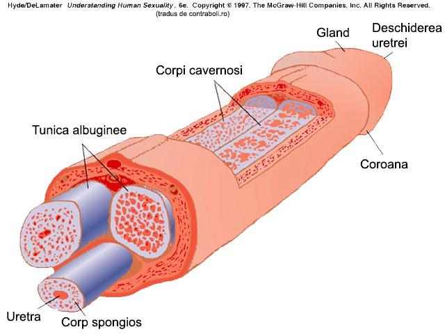 cum să simți penisul tincturi pentru a crește erecția