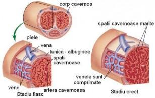 fiziologia penisului