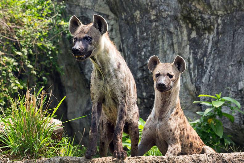 hiena femelă are un penis este erectivă dăunătoare fără descărcare