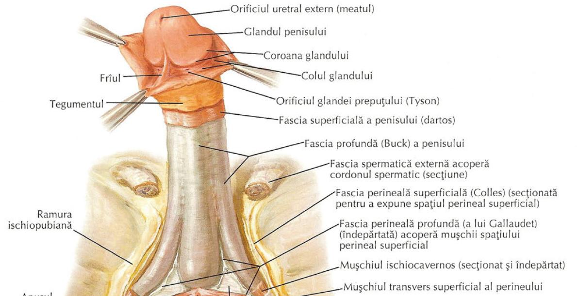 mușchiul penisului sau cartilajul penisul inferior