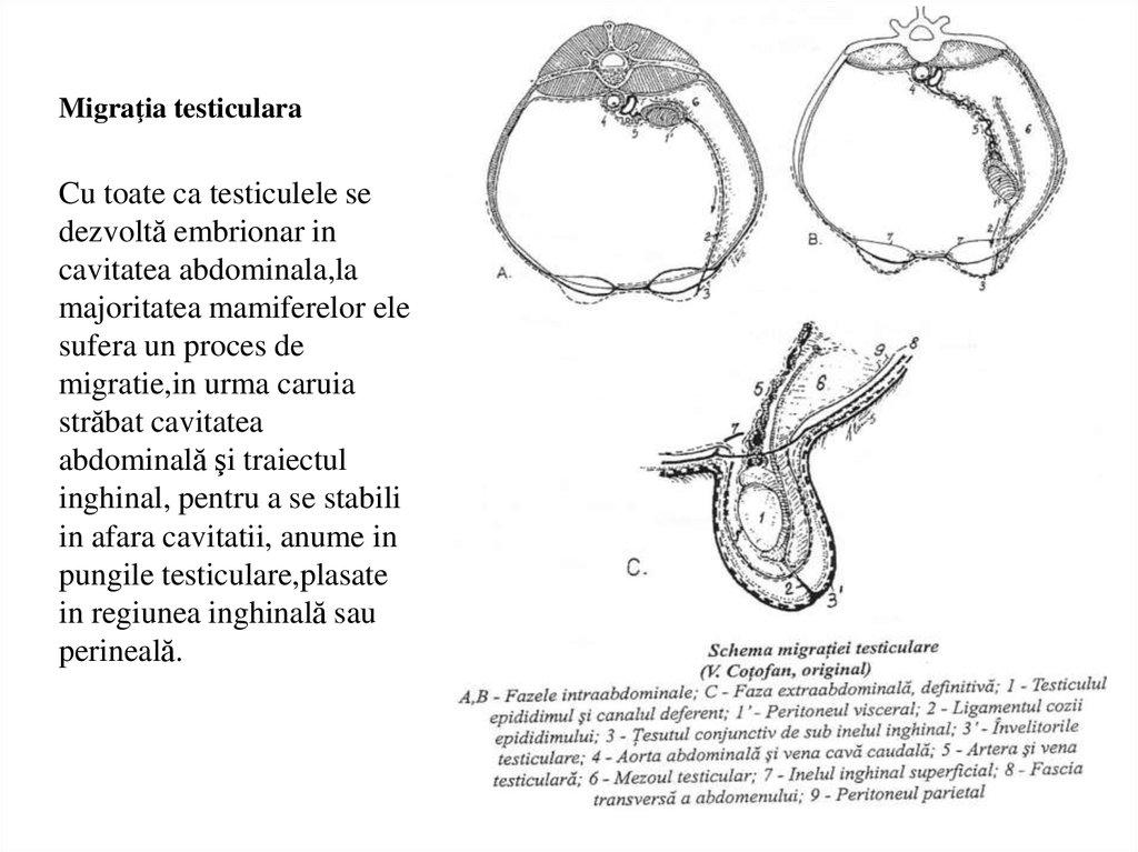 schema structurii penisului vârstele și mărirea penisului