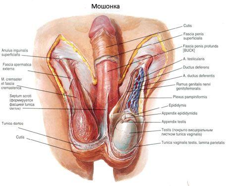 celulele masculine ale penisului