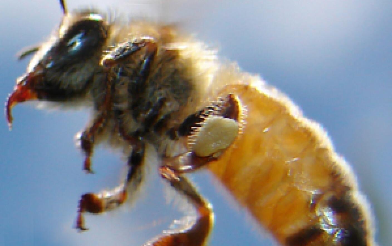 cum se mărește penisul de către albine fără dorință, fără erecție