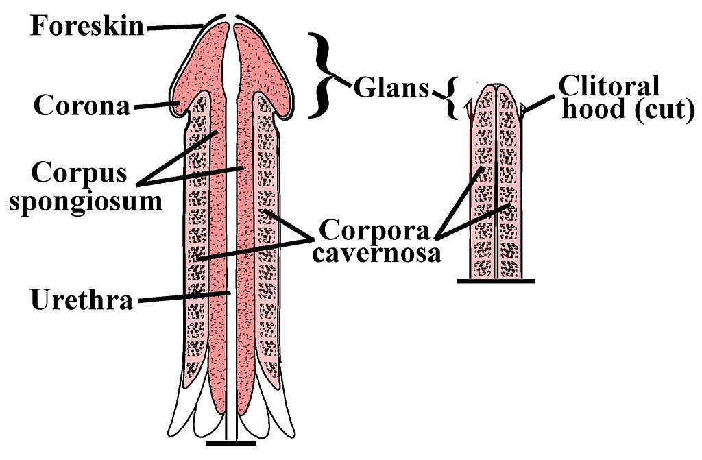 care micșorează penisul efect de ceapă asupra erecției