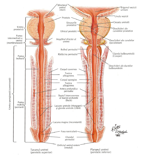 Mâini mari? Picioare mari? Ce determină de fapt mărimea unui penis?